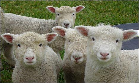 Πρόβατα στην αυστραλία [βίντεο